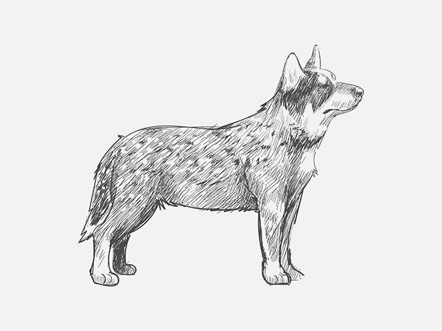 Um breve desenho de um Cattle Dog